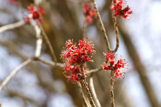 ハナノキ花